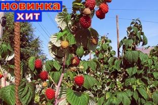Ремонтантная малина Поклон Казакову