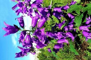Колокольчик широколистный синий