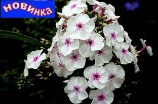 Флокс Весенний Сад