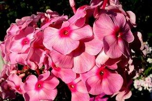 Флокс Розовая леди