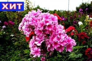 Флокс Розовый Районант