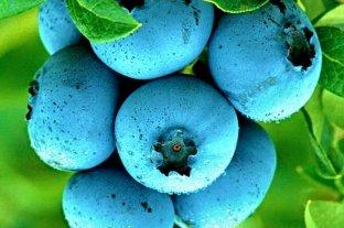Голубика Нортланд