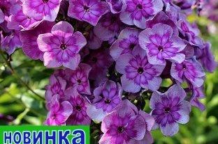 Флокс Карабановские Ситцы