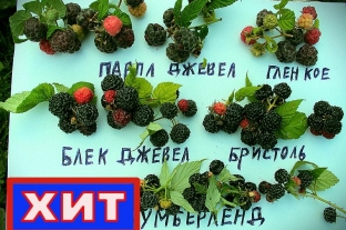 Малина Блэк Джевел