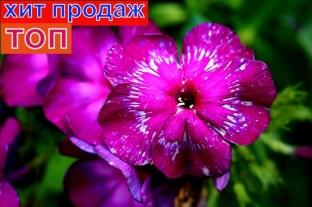 Флокс Хозяйка Медной Горы