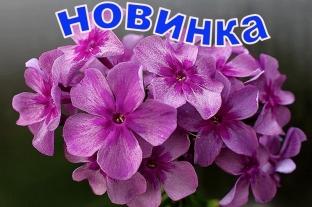 Флокс Гаврюша