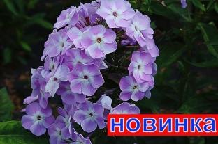Флокс Мирослав