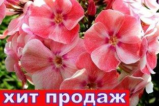 Флокс Алиса Фрейндлих