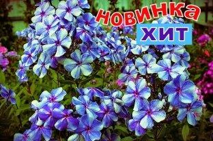 Флокс Гжель Макси